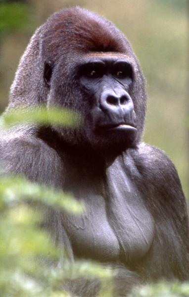Gorilla Bongo