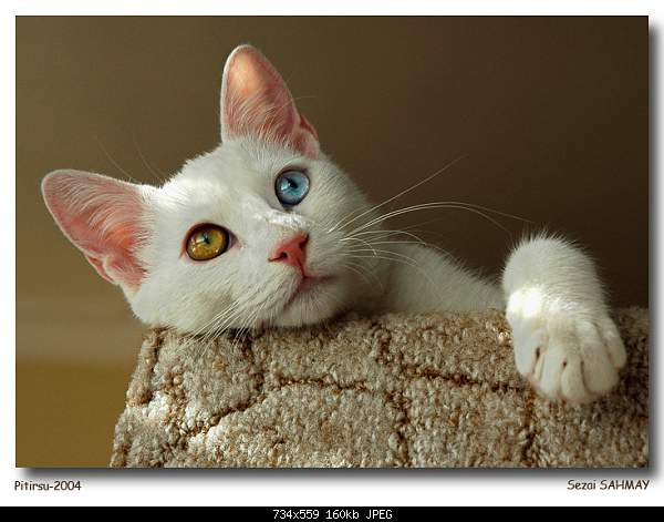 Ванская кошка,Vans cat,Վանակատու-dsc_4056-ps-rs-ok2.jpg