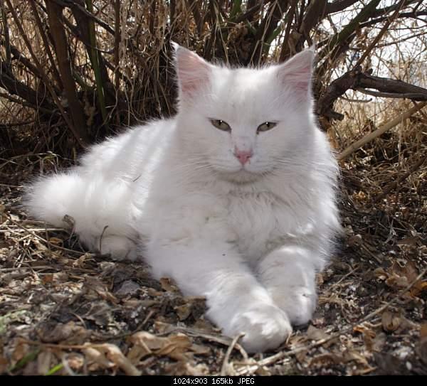 Ванская кошка,Vans cat,Վանակատու-van_cat_house_072.jpg