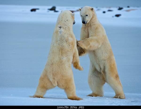 Танец медведя-tanz-auf-dem-eis-a19525620.jpg