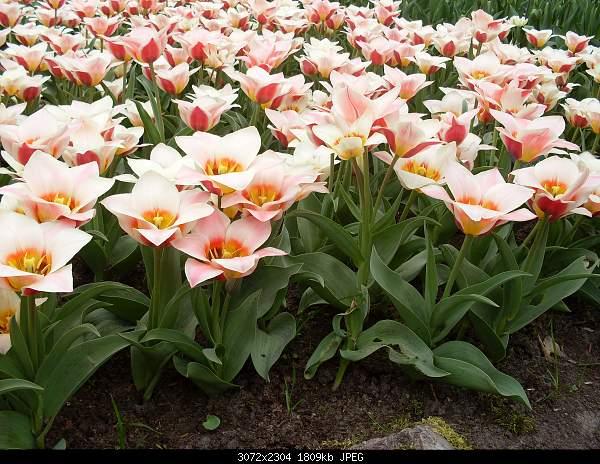 Цветочный парк Keukenhof Holland-sdc10656.jpg