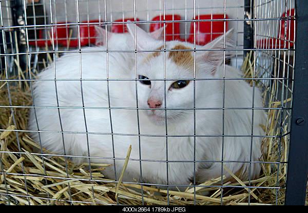 Ванская кошка,Vans cat,Վանակատու-100_4329.jpg