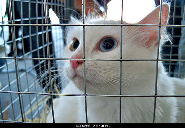 Ванская кошка,Vans cat,Վանակատու-100_4333.jpg