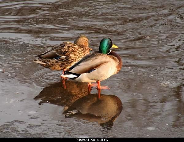 Я всегда с собой беру... фотокамеру!-ducks.jpg